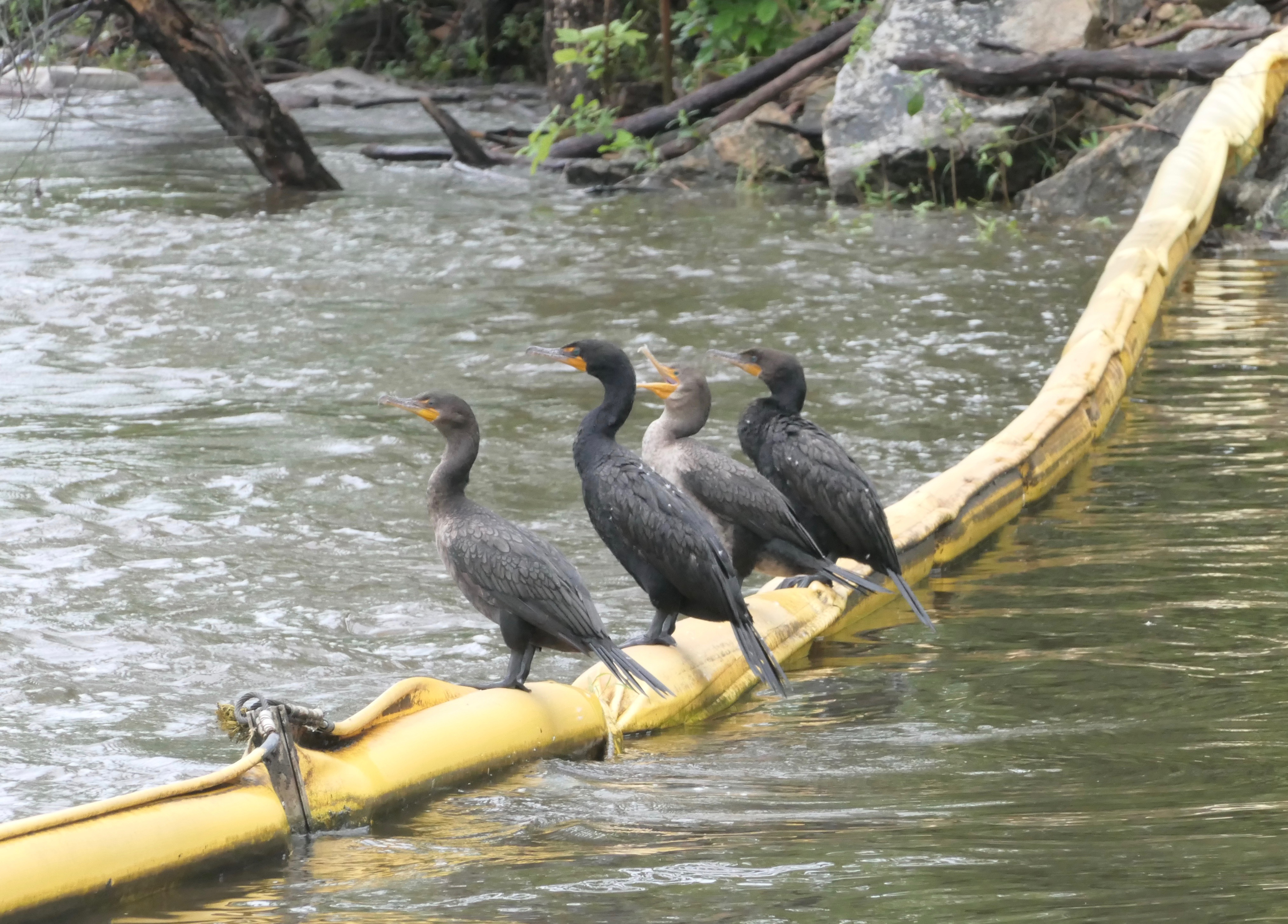 <strong>Photographer Lans Christensen spotted a team of cormorants sitting on a rope in Kent. <em>P</em></strong><em><strong>hoto by Lans Christensen</strong></em>