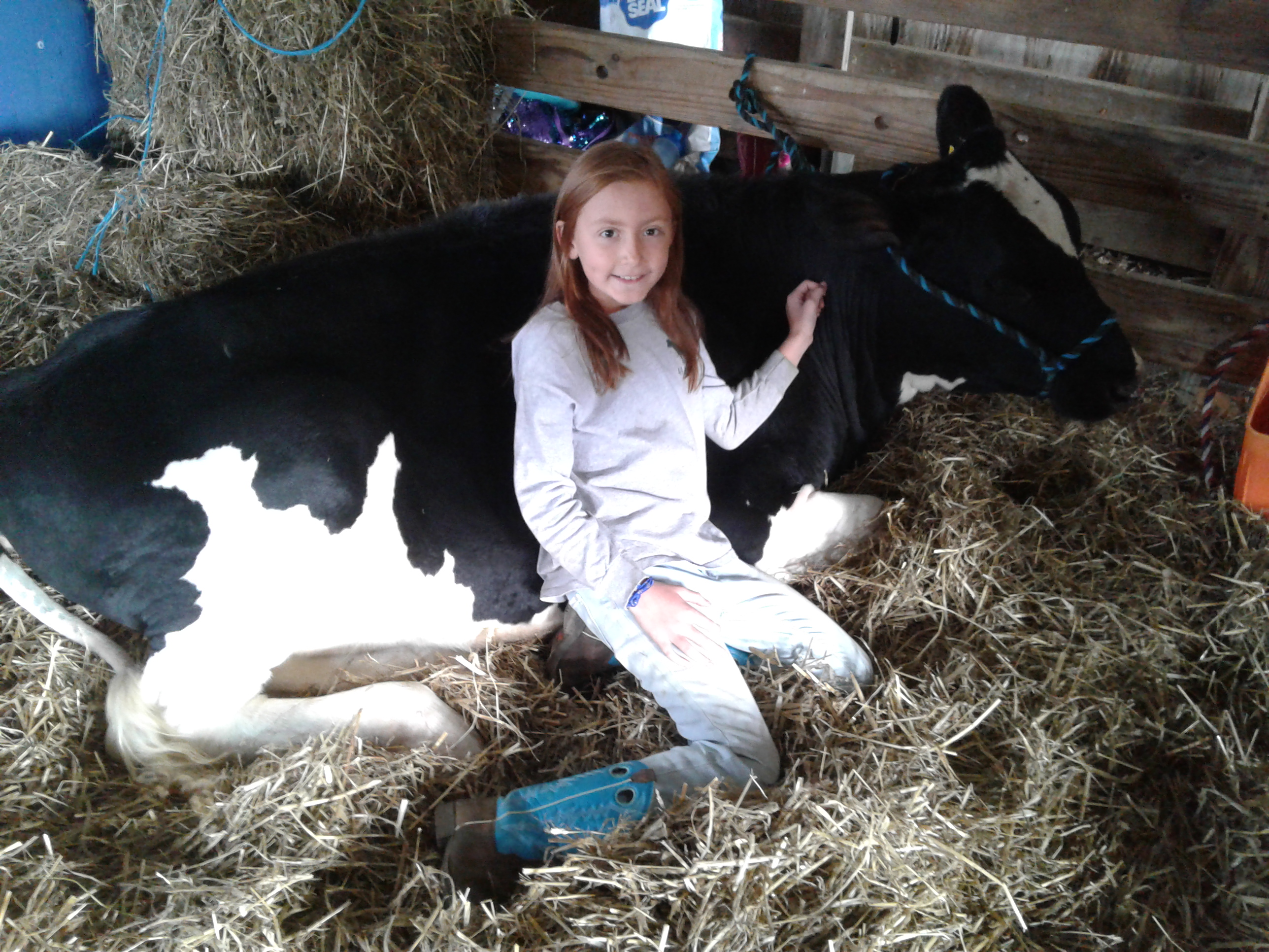 <strong>Gemma Osofsky relaxed in the hay next to her calf Lemon at the Pine Plains FFA's Fall Agricultural Fair on Saturday morning, Oct. 9.<em> Photo by Kaitlin Lyle</em></strong>