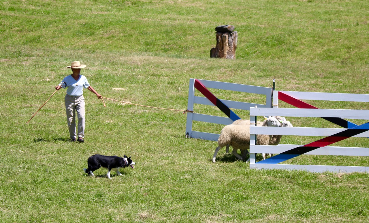<strong>Many elements were at play in each phase of the Caora Farm Sheep Dog Trials, from the dog's ability to control the sheep movement to the handler's ability to communicate and influence their dogs.<em>Photosubmitted</em></strong>