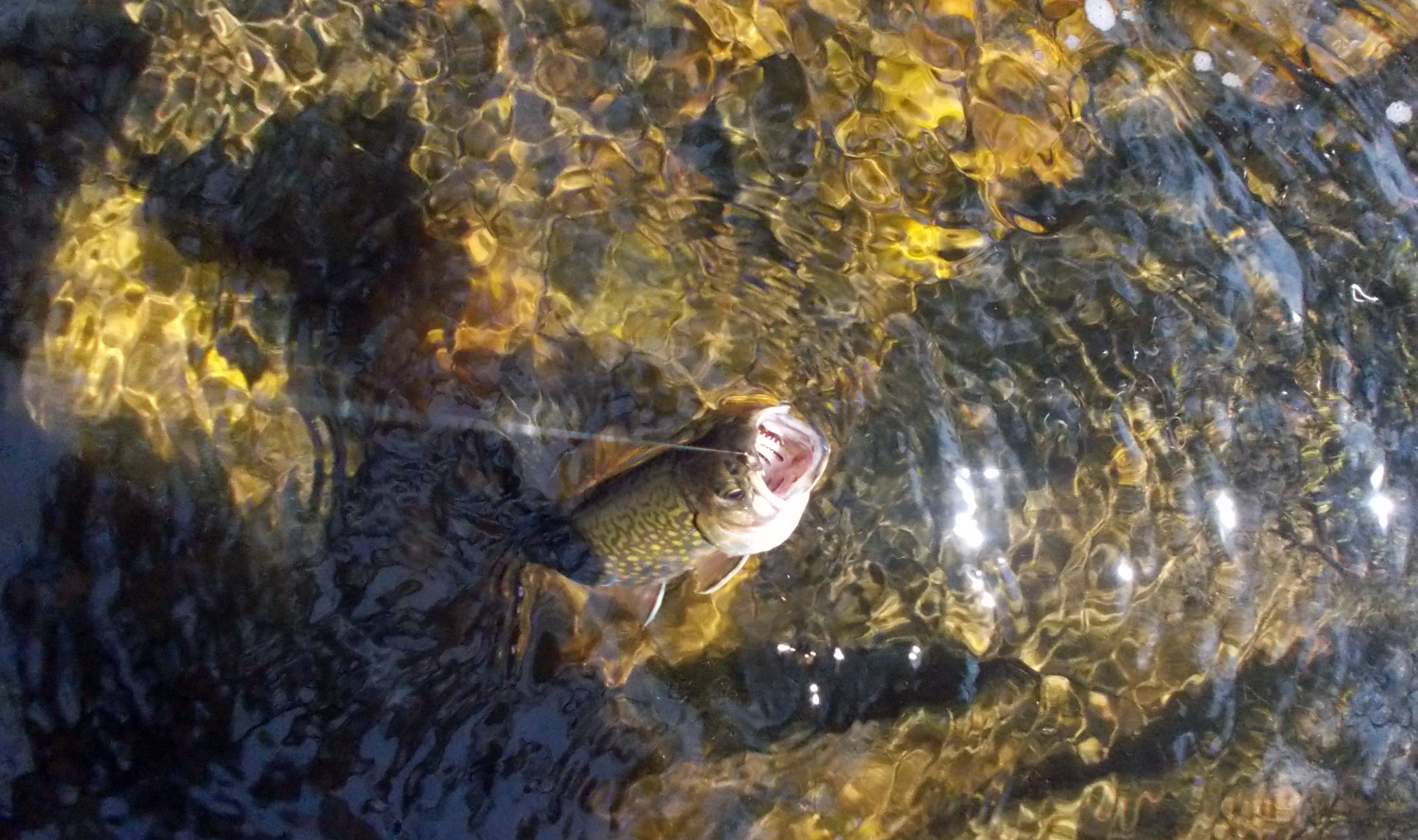 <strong>Early fishing season often means prowling brook trout streams, searching for these elusive wild fish. And putting them back in the water unharmed, of course.<em>Photo by Patrick L. Sullivan</em></strong>